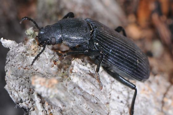 Darkling Beetle? - Xylopinus saperdoides