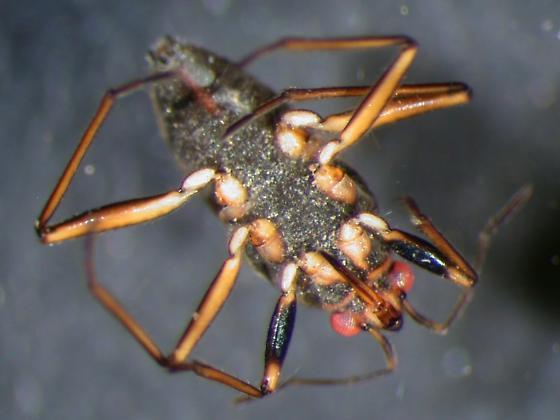 Folsom Velii - Microvelia