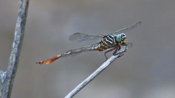 Aphylla protracta - Narrow-striped Forceptail - Aphylla protracta