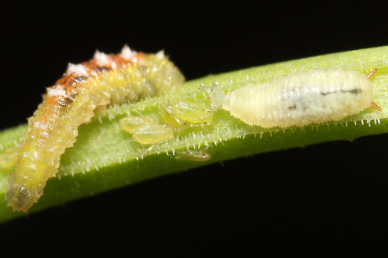 syrphid larva feeding on aphids