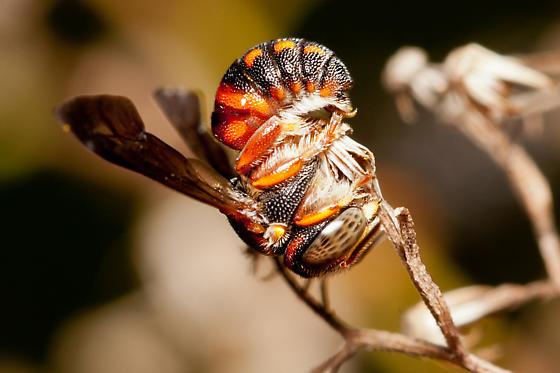 Bee - Anthidiellum
