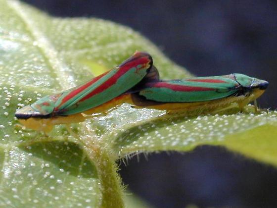 Graphocephala - male - female