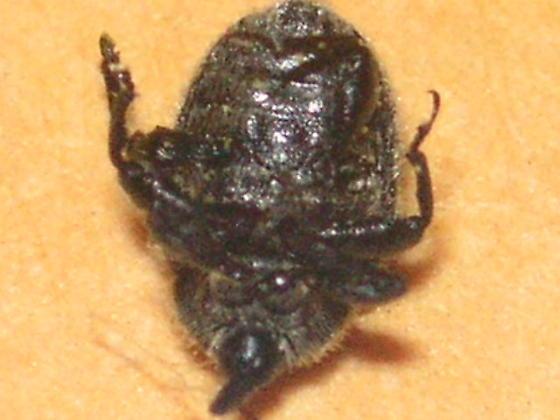 Cleopomiarus  tetrum (Curculionidae) in Colorado Springs. - Rhinusa tetra