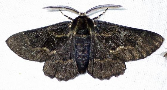 Phaeoura quernaria