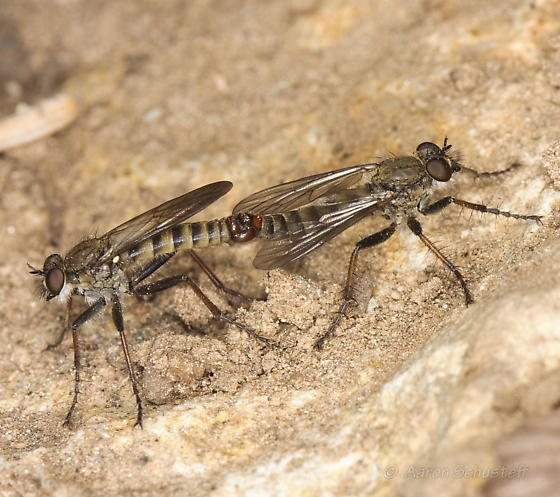Mating Robber Fly Pair - Lasiopogon monticola - male - female