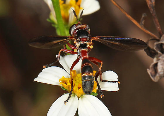 Thick-headed Fly - Physoconops floridanus? - Physoconops