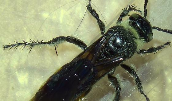 Desert Wasp - Campsomeris tolteca - female