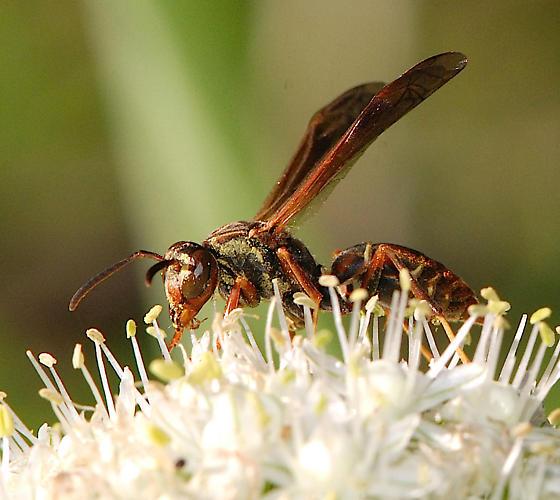 Paper Wasp - Polistes fuscatus