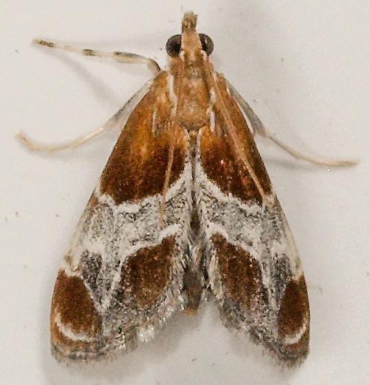 Moth to porch light  - Chalcoela pegasalis
