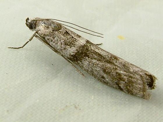 1771 Myelopsis subtetricella - Acorn Moth 5718 - Myelopsis subtetricella