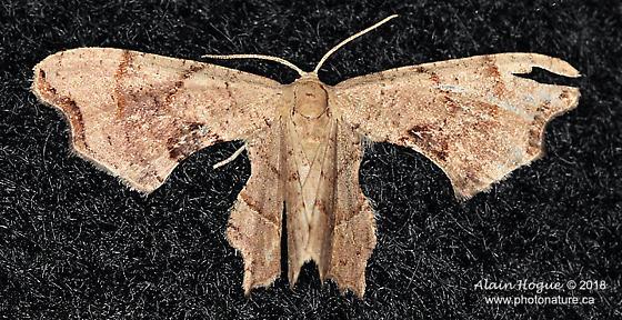 Epipleminae - Calledapteryx dryopterata