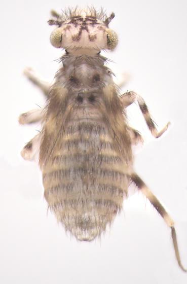 Psocodea, dorsal - Echmepteryx hageni