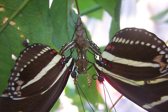 Mating with chrysalis - Heliconius charithonia - male - female
