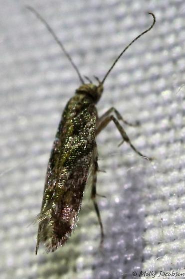 tiny moth - Aristotelia rubidella