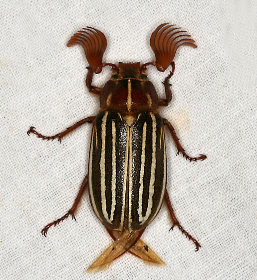 Ten-lined June Beetle - Polyphylla decemlineata - male