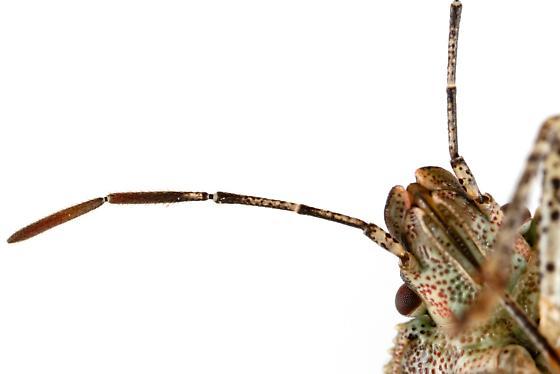Male, Consperse Stink Bug? - Euschistus