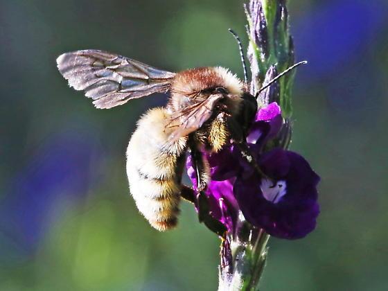 Unknown Bee - Bombus pensylvanicus
