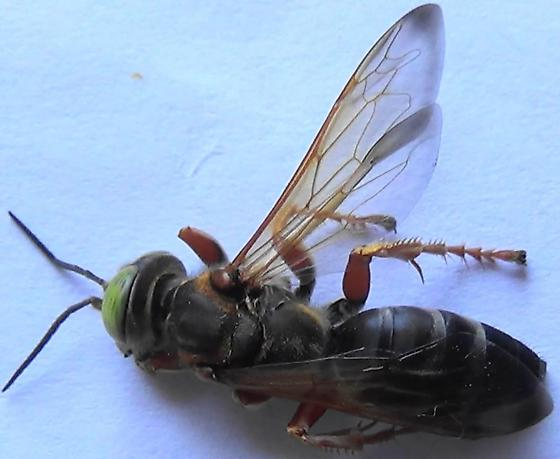 The Six Wasp Special - #2 of 6 - Tachytes distinctus - female