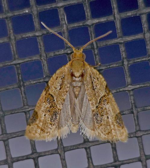 Texas SE Gulf Coast - Clepsis peritana