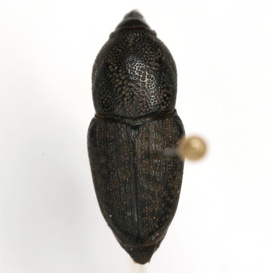 Sphenophorus blanchardi Chittenden - Sphenophorus blanchardi