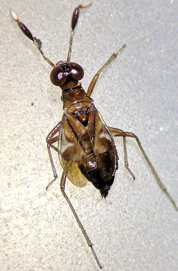 Heteroptera - Saldoida slossonae