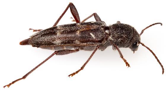 Xylotrechus? Maybe X. sagittatus chiricahuae? - Xylotrechus sagittatus