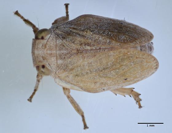 hopper - Agalmatium bilobum