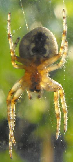 Orb Weaver (?) - Larinioides - female