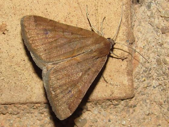 moth sp - Caenurgina