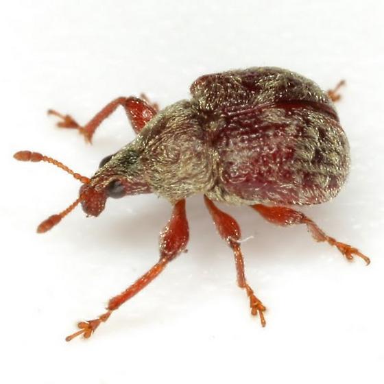 Himatolabus pubescens (Say) - Himatolabus pubescens