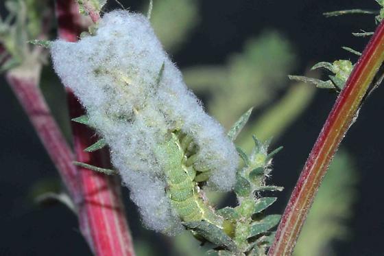 unknown parasitic wasp larvae feeding on caterpillar