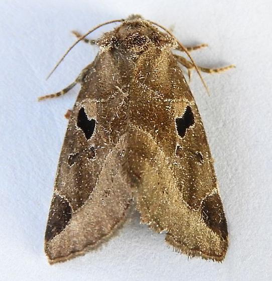 Pennsylvania Moth - Plagiomimicus pityochromus