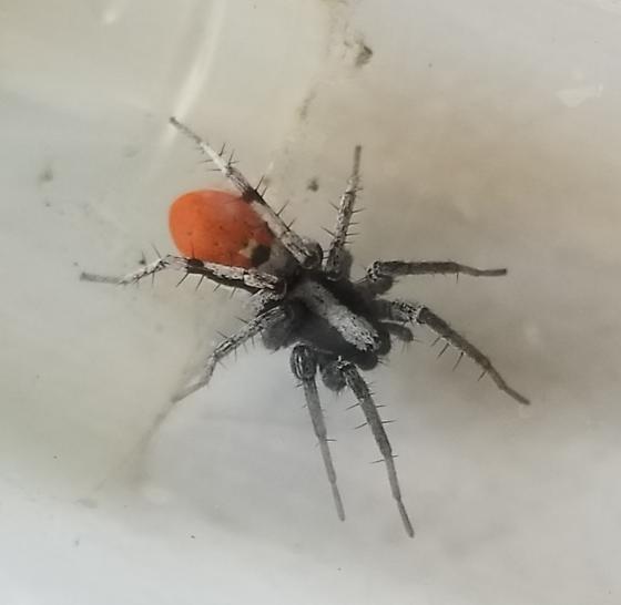 Castianeira occidens - female