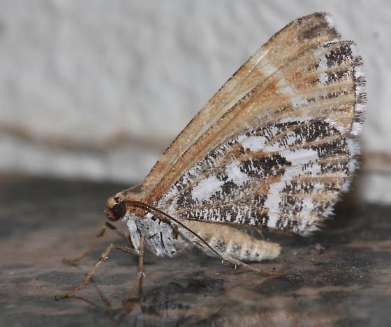 Marmopteryx marmorata - Stamnodes marmorata