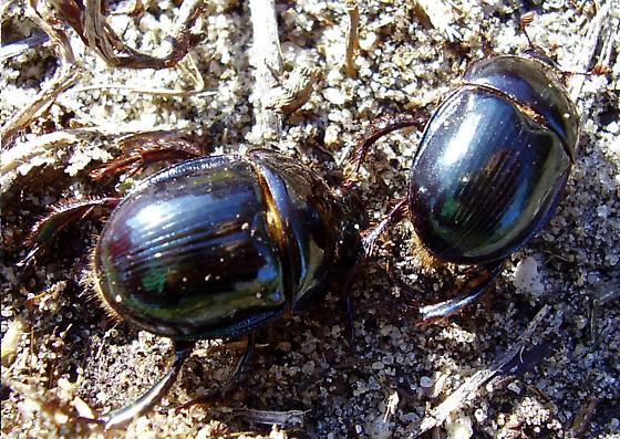 Beetles - Peltotrupes profundus - male - female