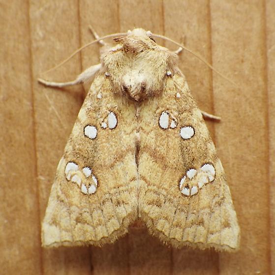 Noctuidae: Papaipema furcata - Papaipema furcata