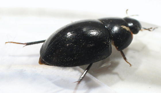 Hydrophilidae - Enochrus consors