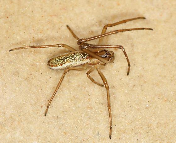 immature male T. laboriosa (I think) - Tetragnatha laboriosa
