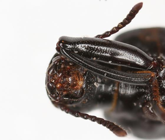 Alobates morio - Alobates barbatus