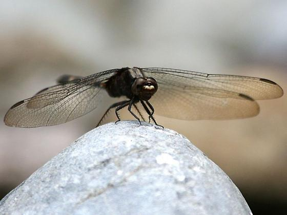 Pin-tailed Pondhawk - Erythemis plebeja - female