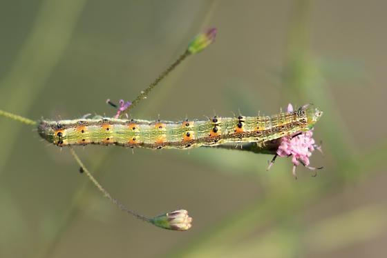 Unknown Caterpillar Instar