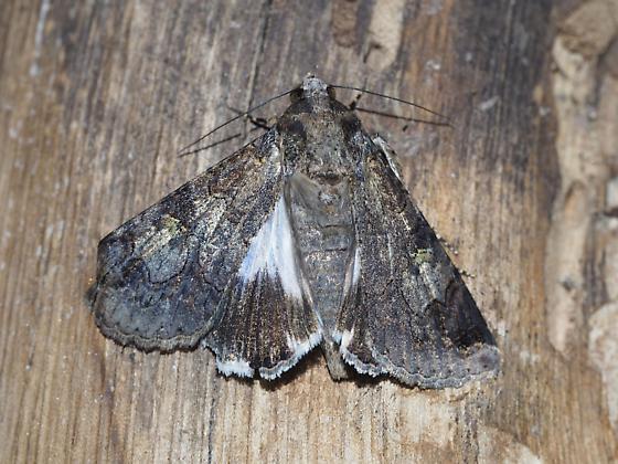 Melipotis famelica - Hodges#8604 - Melipotis famelica