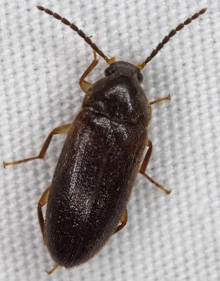 Beetle IMG_0896 - Hymenorus