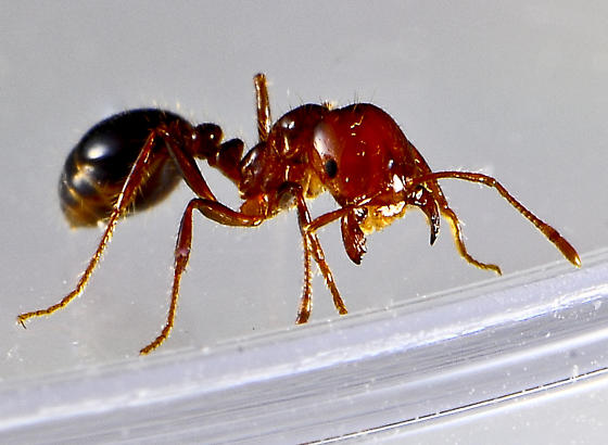 ant from beach - Solenopsis