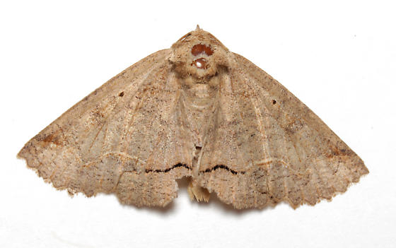 Erebidae, One-lined Zale - Zale unilineata