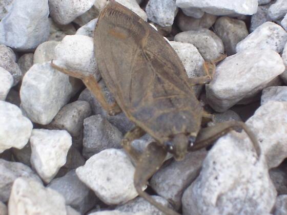 What is this? - Lethocerus americanus