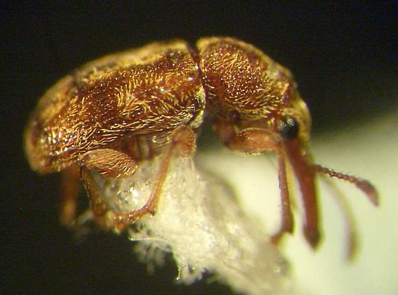 Weevil - Auletobius cassandrae
