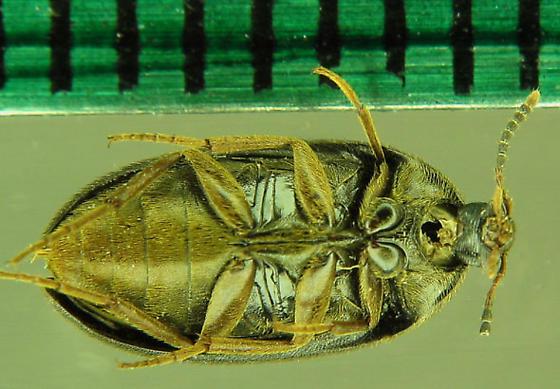 Family? - Eustrophopsis bicolor