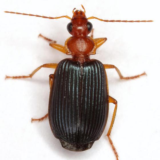 Lebia deceptrix Madge - Lebia deceptrix