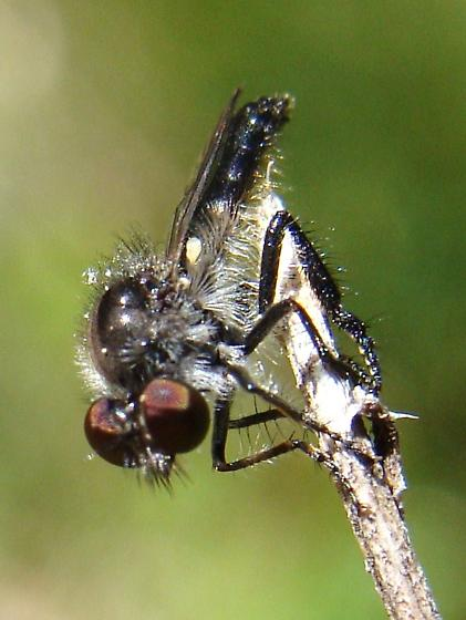 Hairy yet Shiny small Robber Fly - Holopogon